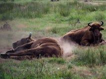 Бизон на каникулах купает в пыли рожка всегда готов не прийти близко стоковое фото rf