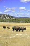Бизон на национальном парке Йеллоустона, Вайоминге Стоковые Изображения RF