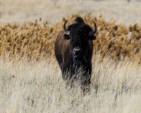 Бизон на острове антилопы Стоковые Фото