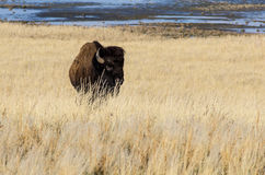 Бизон на острове антилопы Стоковое фото RF