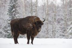Бизон на поле Величественный мощный взрослый зубр в зимнем времени, Беларусь тура Одичалый европейский деревянный бизон, мужчина  стоковая фотография rf