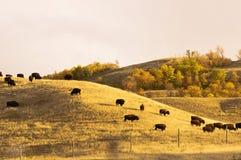Бизон пася в парке фунта буйвола Стоковые Фото