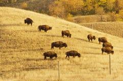 Бизон пася в парке фунта буйвола Стоковые Изображения RF