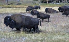 Бизон пася на национальном парке Йеллоустон стоковые изображения rf