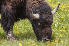 Бизон пася полдень на национальном парке Йеллоустона стоковые фото