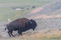 Бизон ревя в долине Lamar стоковое изображение