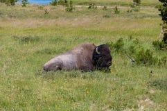 Бизон сидя на траве на национальном парке Йеллоустона стоковое изображение rf