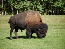Бизон средний-размера свободно-кочуя в парке Стоковая Фотография