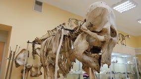 Бизон степи или priscus бизона скелет в музее Скелет буйвола на музее Стоковое Изображение