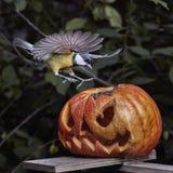 биографической Chickadee садить на насест на тыкве в осени стоковое изображение