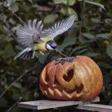 биографической Chickadee садить на насест на тыкве в осени стоковые фото