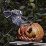 биографической Chickadee садить на насест на тыкве в осени стоковое фото rf