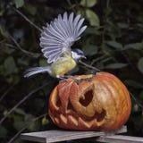 биографической Chickadee садить на насест на тыкве в осени стоковые фотографии rf