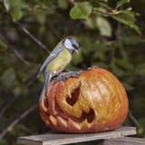 биографической Chickadee садить на насест на тыкве в осени стоковая фотография
