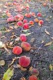 биологические упаденные земные персики Стоковая Фотография