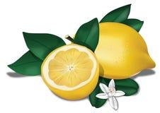 биологический лимон Иллюстрация штока