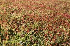 Биологический путь вырасти рис Стоковое Фото