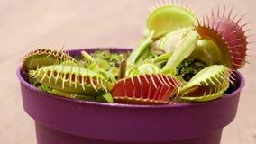 Биолог кормит flytrap Венеры с щипчиками сток-видео