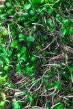био микро- салат от sprots красной капусты Стоковое Фото