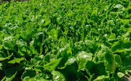 Био поле фермы шпината Стоковые Изображения