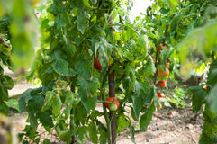 Био плантация томатов стоковые изображения