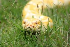 бирманская змейка питона Стоковое фото RF