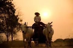 Бирманская сельская дорога, 2 белых коровы вытягивая деревянную тележку Стоковое фото RF