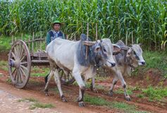 Бирманская тележка вола катания фермера Стоковое фото RF