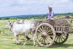 Бирманская тележка вола катания фермера Стоковые Фотографии RF