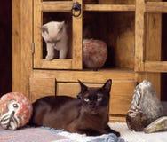 Бирманские коты Стоковое Фото