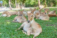 Бирманские чел-antlered олени Стоковое Изображение