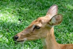 Бирманские чел-antlered олени Стоковые Изображения RF