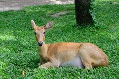 Бирманские чел-antlered олени Стоковая Фотография