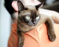 бирманский кот нося его плечо человека стоковая фотография