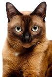 Бирманский кот Стоковое Изображение