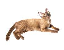 бирманский кот Стоковые Фотографии RF