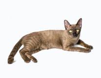 бирманский кот Стоковые Изображения RF