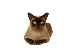 бирманский кот Стоковые Фото