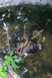бирманский питон Стоковое фото RF