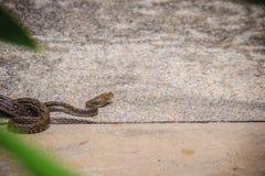 Бирманский питон (bivittatus питона) одно из 5 larges Стоковое Изображение