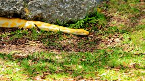 Бирманский питон (bivittatus питона) Стоковое фото RF