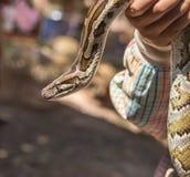 Бирманский питон, molurus питона, bivittatus питона Стоковое Фото