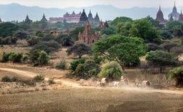 Бирманский сельский транспорт с 2 белыми волами Стоковое Изображение RF