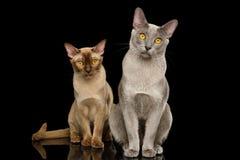 2 бирманских кота на изолированной черной предпосылке стоковая фотография rf