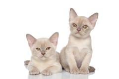 2 бирманских котят на белой предпосылке Стоковые Изображения