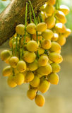 бирманское rambai виноградины Стоковая Фотография RF