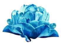 Бирюза тюльпанов Цветки на белизне изолировали предпосылку с путем клиппирования closeup Отсутствие теней Стоковые Изображения