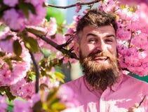 Битник в розовой рубашке около ветви Сакуры Сработанность с концепцией природы Человек с бородой и усик на усмехаясь стороне Стоковая Фотография RF