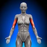 Бицепс - женские мышцы анатомии иллюстрация штока