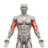 Бицепс Muscles - мышцы анатомии изолированные на бело- illustra 3D иллюстрация штока